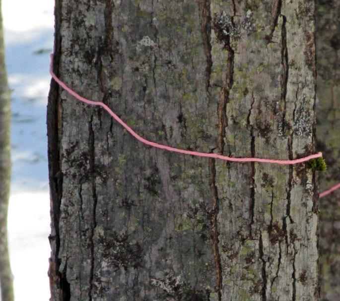 Marking Maple Trees