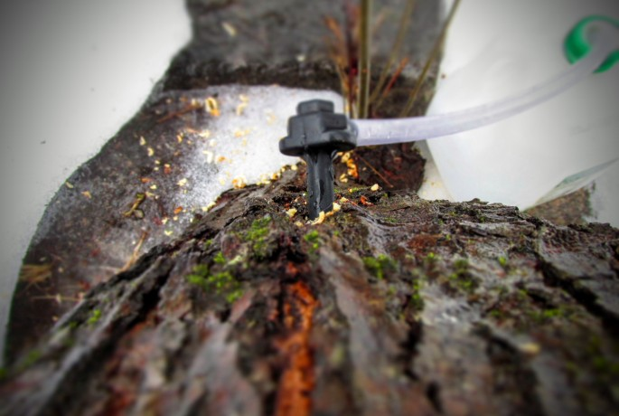 maple tree tapped for sap to make maple syrup
