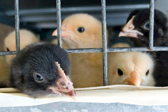 caged baby chicks