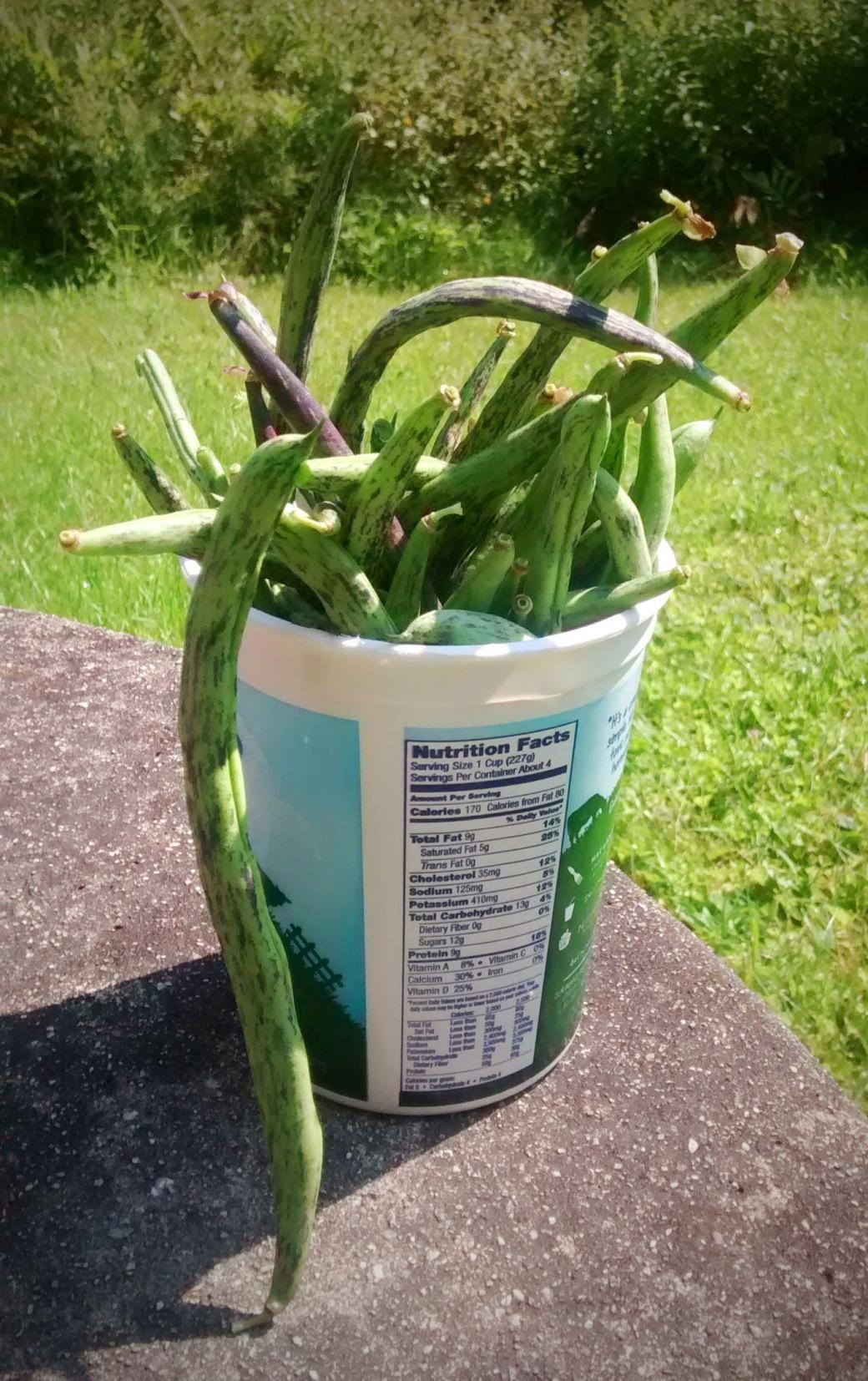 Green Beans Grown in Hugelkultur raised bed