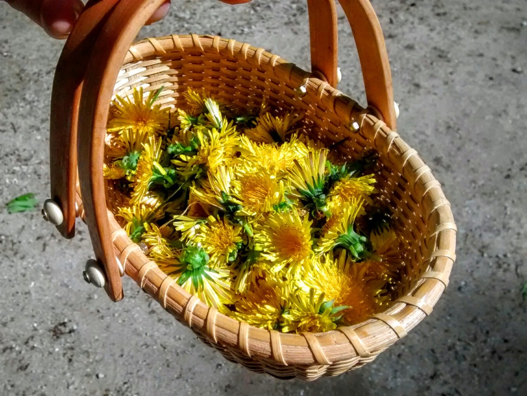 collecting dandelions in a basket to bake into cookies