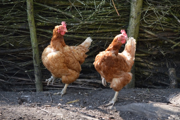 Dancing Happy Chickens