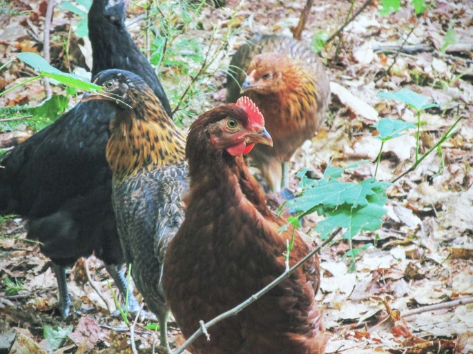 Heritage breed cockerel chickens for meat