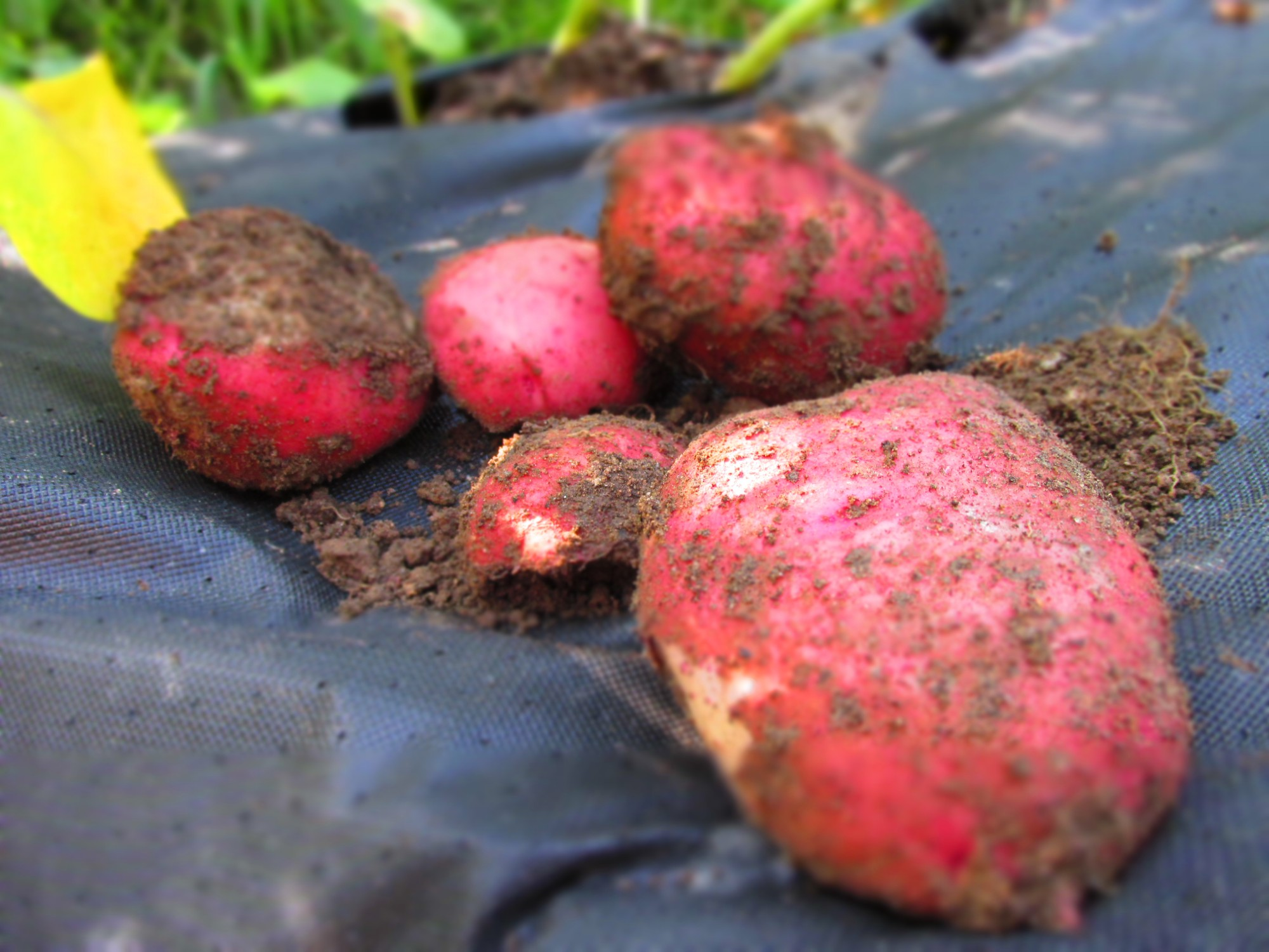 our organic red potatoes