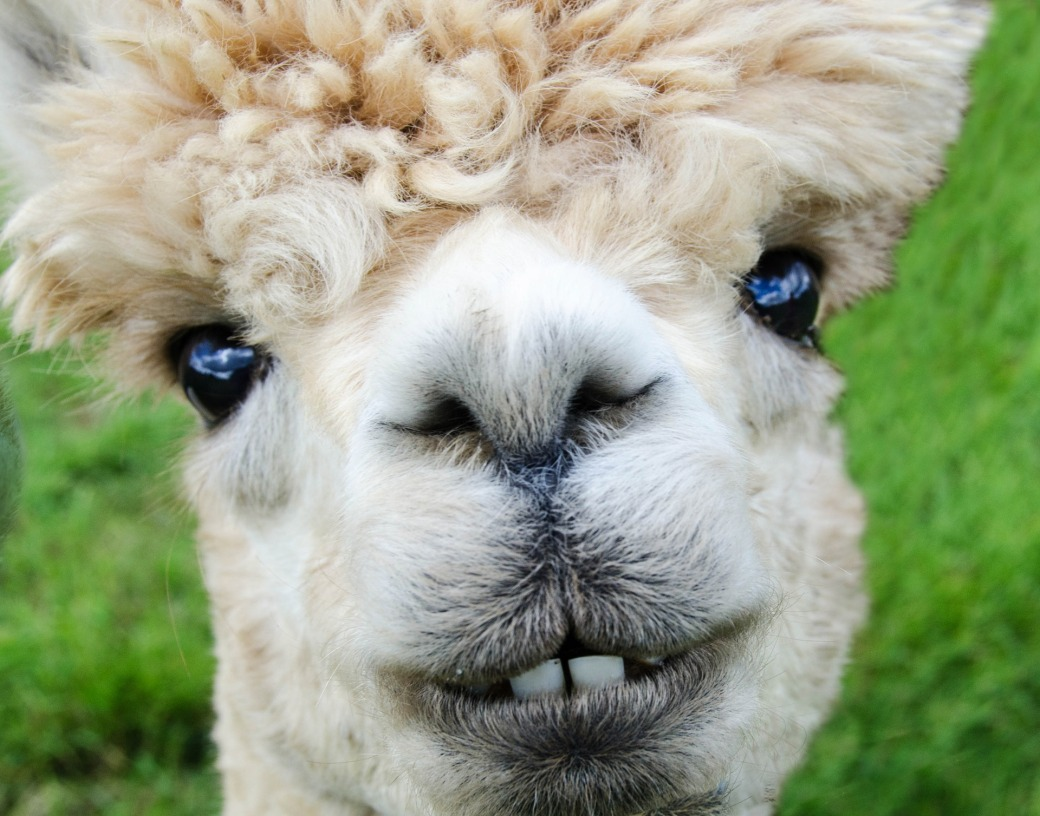 Alpaca is not in the top 5 farm animals searched for in 2015