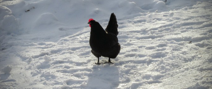 black australorp hen in snow