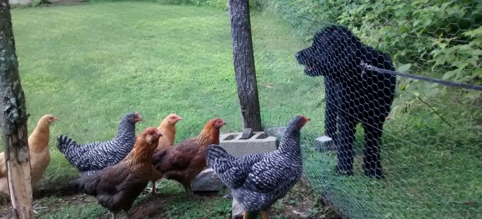 black goldendoodle dog looking at delicious barred rock, ameraucana, and buff orpington hens or chickens