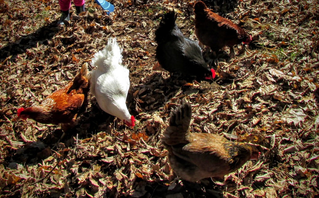 watching chickens foraging reduces stress!