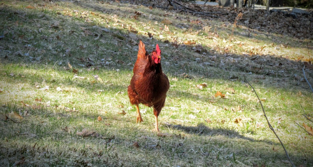 rhode island red free range running on pasture