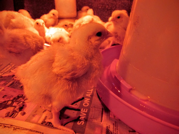 baby broiler chick