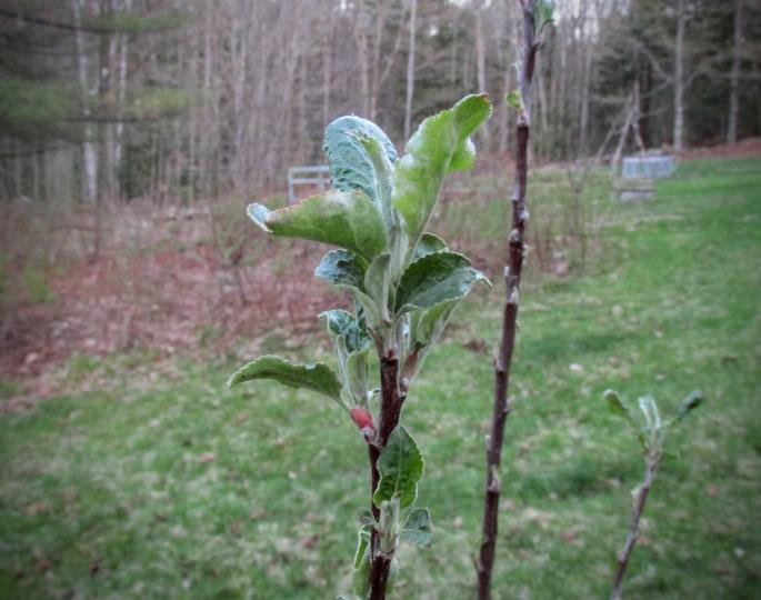 mcintosh apple tree leaves