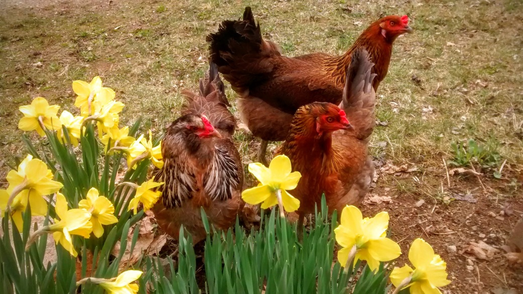 ameraucana hens hanging out in the daffodils