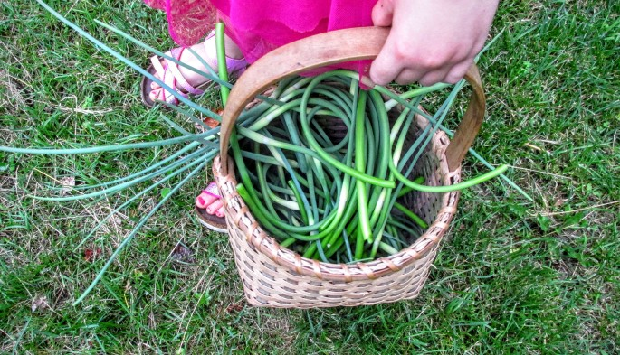 collecting garlic scapes in a basket with our daughter