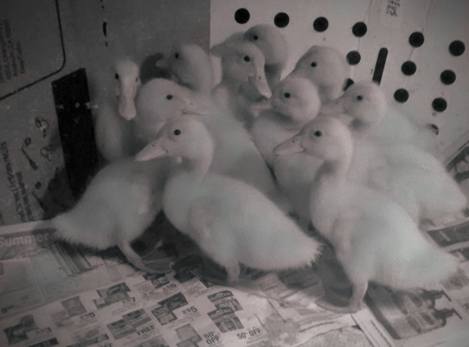 dramatic pekin ducklings at about 1 week