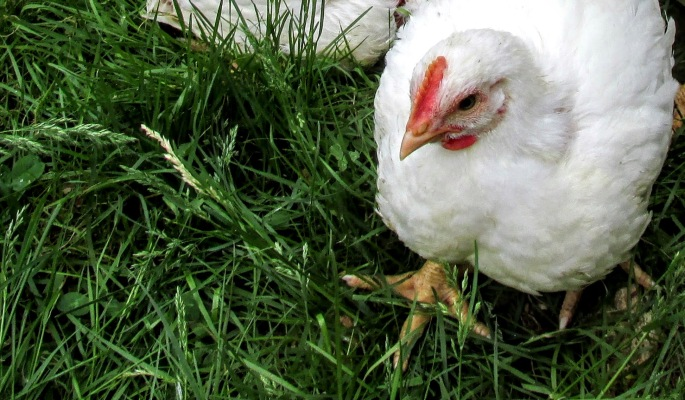 pasture raised broiler on lush grass